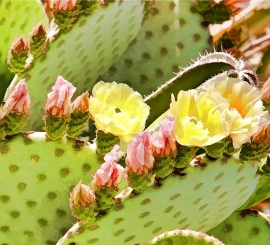 Prickly Pear Blossoms Detail 2
